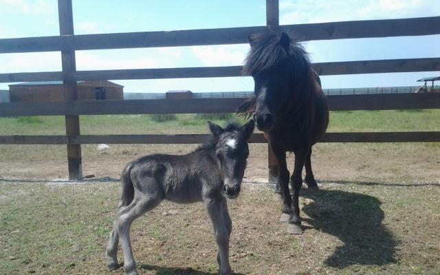 В сафари-парке на Арабатке родился пони-хулиган