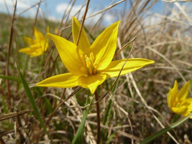 В степах Херсонщини зацвіли скіфські тюльпани